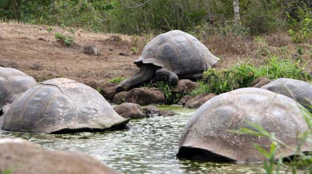En la isla Isabela habitan cinco especies de tortugas gigantes de Galápagos. Foto: Archivo/ EL COMERCIO.
