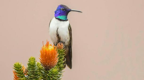 Captar una foto de esta subespecie de colibrí andino puede tomar todo un día. Foto: cortesía de Ángel Martínez