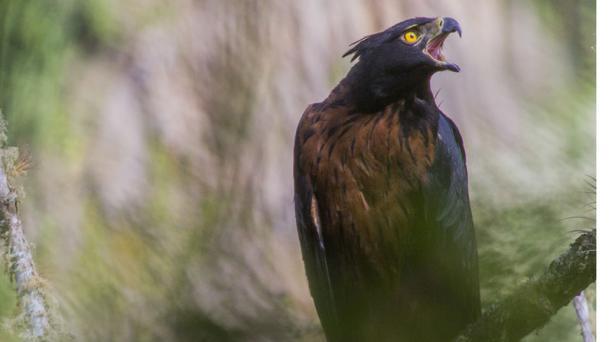 El águila andina habita desde los 1 500 a 3 000 metros sobre el nivel del mar. Foto: Jaime Culebras, Anahí Hidalgo, Fabricio Narváez y Sebastián KohnSClB