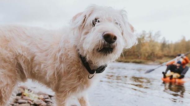 Mikael Lindnord, quien adoptó a Arthur luego de que el perro siguió a su equipo durante el Mundial de deportes Huairasinchi Explorer del 2014, contó en Instagram que el can ha perdido un poco la musculatura de una de sus patas traseras. Foto: Instagram/@M