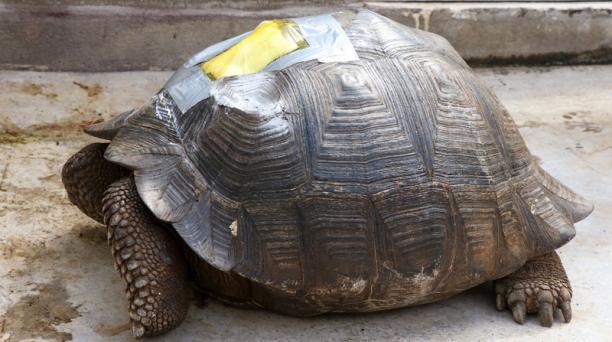 Una tortuga gigante de la especie Chelonoidis porteri, en peligro crítico de extinción, fue atropellada el pasado 21 de noviembre del 2019 en Galápagos. Foto: cortesía Parque Nacional Galápagos.