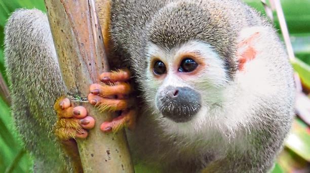 El mono ardilla es uno de los más afectados por la cacería.
