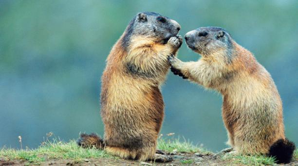 En Mongolia y China se han dado alertas de peste bubónica a causa de la ingesta de carne cruda de marmota.