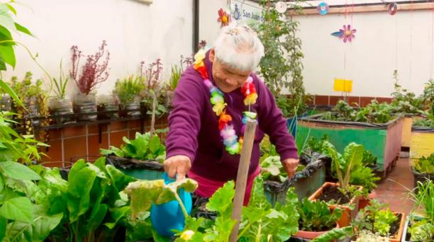 Una adulta mayor riega acelgas y otros vegetales como parte de sus actividades diarias en Quito. Vigila que las plagas no caigan en sus productos.