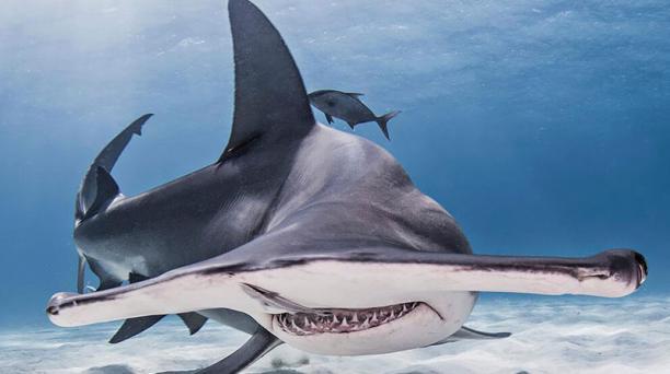 El tiburón martillo llega a la madurez sexual a los 13 años y vive hasta los 30. Foto: Archivo particular