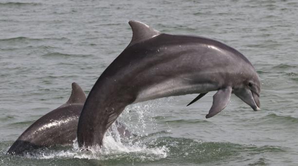 El estudio analizó a los delfines que residen en la zona de El Morro y Posorja. El 13% de estos presenta daños causados por la pesca y el impacto de las hélices de los barcos. Foto: Cortesía Fernando Félix