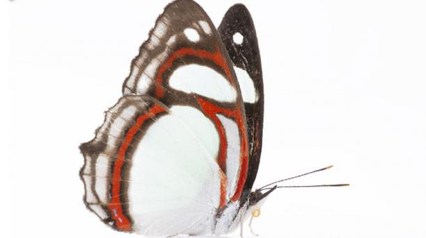Esta mariposa pertenece a la especie Pyrrhogyra otolais, Foto: ELCOMERCIO