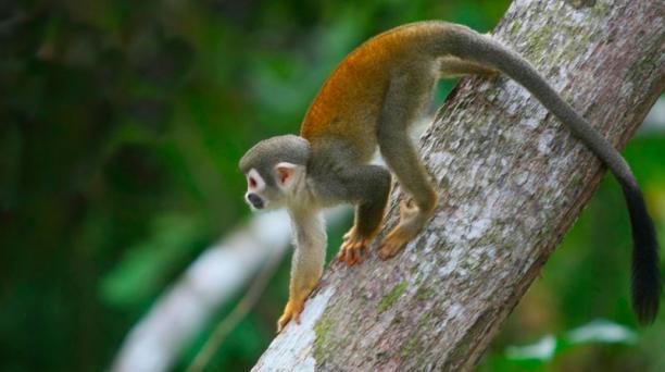 Las 21 especies de primates que habitan en el país están clasificadas como amenazadas o casi amenazadas. Su situación es más grave en la Costa.