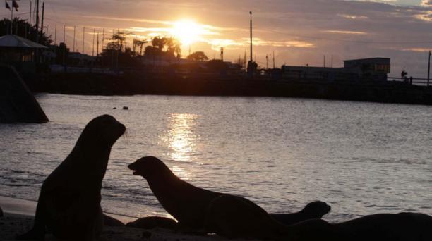 Leones marinos, león marino en la isla San Cristobal Foto: Vicente Costales/ El Comercio 20/05/2014