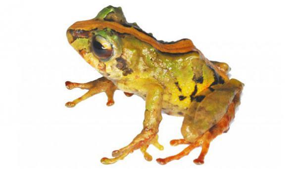 Cutín Gualaceño se encuentra en el bosque montano oriental y en el páramo. Foto: Fauna Web Ecuador