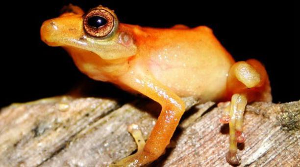 Cutín anaranjado de Tinguichaca habita en el bosque montano oriental. Foto: Fauna Web Ecuador