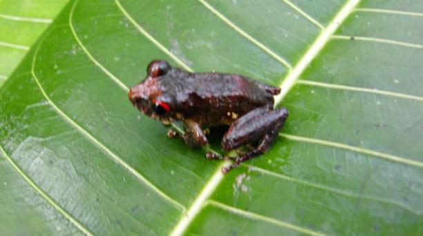 Cutín mezclado vive en el bosque húmedo tropical Amazónico. Foto: Fauna Web Ecuador