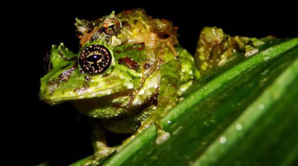 Cutín de Ron, se encuentra en el bosque montano oriental. Foto: Fauna Web Ecuador
