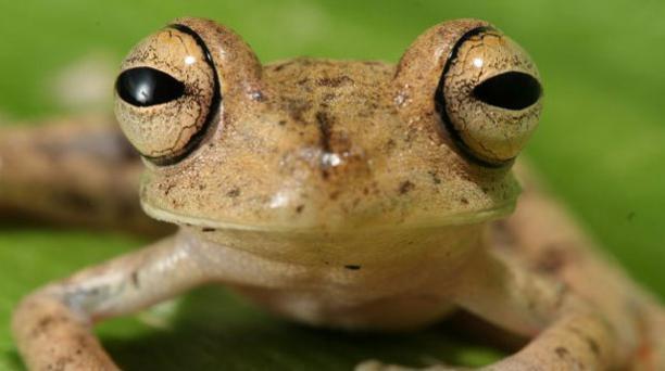 Rana arbórea manchada habita en el bosque húmedo tropical amazónico. Foto: Fauna Web Ecuador