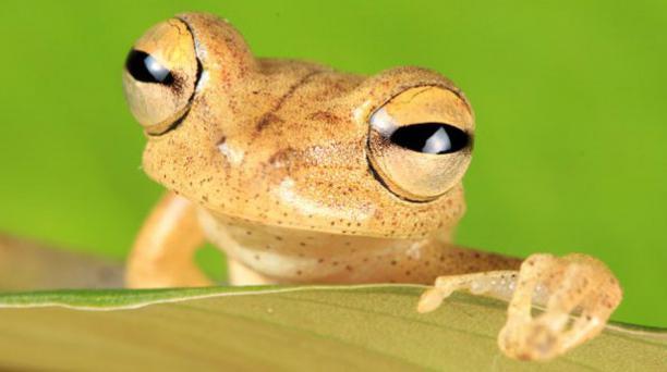Rana arbórea de los Tetetes está en peligro y vive en el  bosque húmedo tropical amazónico. Foto: Fauna Web Ecuador