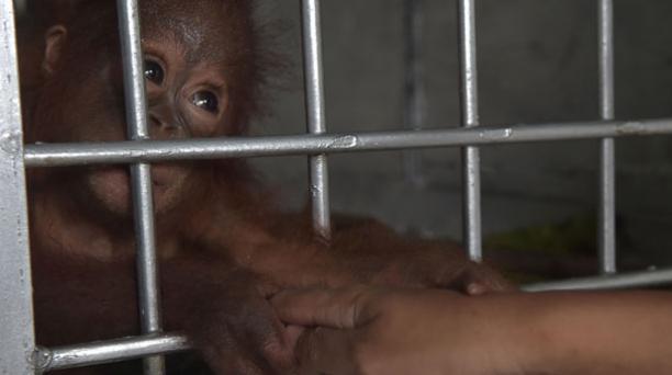 Vena, una bebé orangután de siete meses de edad fue salvada de ser convertida en una mascota en Indonesia. Foto: AFP.