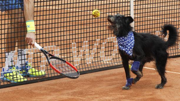 Como una manera diferente de promover la adopción de animales rescatados, animalistas brasileros organizaron un breve partido de Tenis que contó con tres perros como recopelotas. El encuentro se dio como preludio de las semifinales del Abierto de Tenis de