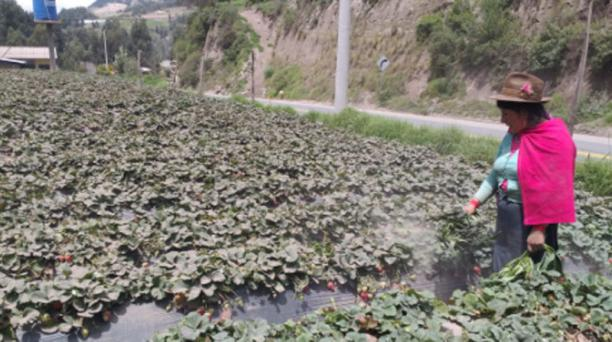 La ceniza del volcán Sangay en el cantón Guamote, en la provincia de Chimborazo, sobre los cultivos. Foto: Cristina Márquez / EL COMERCIO